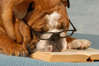 Bulldog reading
