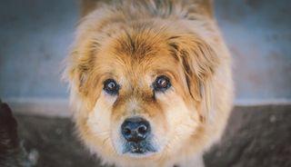 Animal-cute-dog-5284-609x350