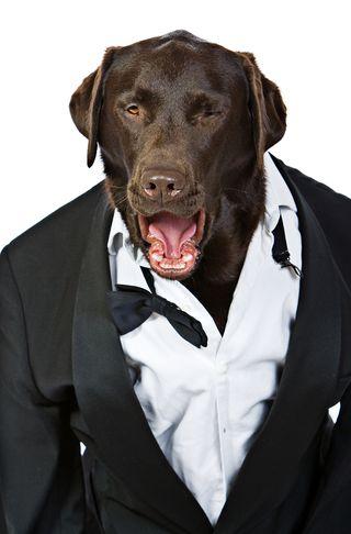 Bigstock-Op-Dog-In-Tuxedo-Shouting-His--4937513