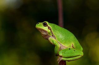 Hyla-meridionalis-the-frog-amphibians