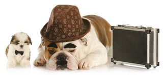 Bigstock-working-dogs--english-bulldog-17532104