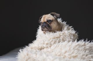 Dog boa
