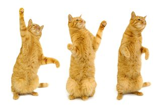 Bigstock-Three-Dancing-Cats-1703050