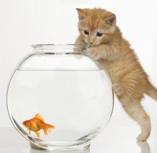 Kitten fish bowl