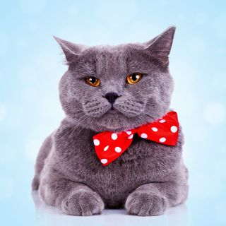 Bigstock-bored-big-english-cat-with-red-28574120