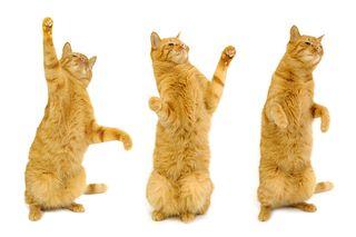 Bigstock-Three-Dancing-Cats-1703050