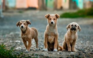 Dogs three pexels-photo-26128-medium