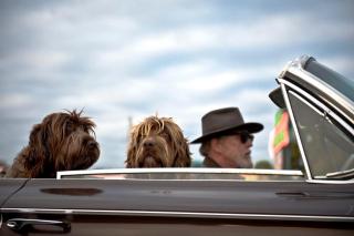 Car dogs car