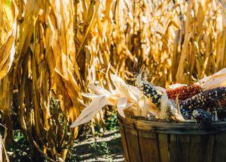 Corn and bushel