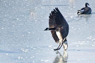 Bigstock-Canada-Goose-Landing-On-Frozen-58134056