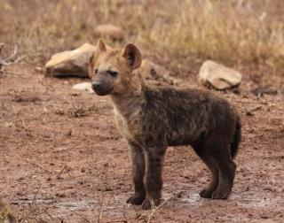 Hyene-puppy-hyene-wildlife-hyaena-medium
