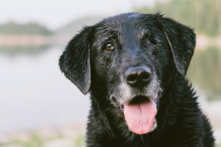 Black lab old