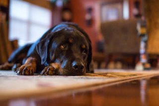 Dog resting floor