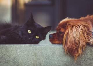 Black cat and dog