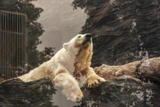 Bear polar grizzly