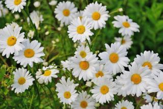 Daisy-flower-spring-marguerite-67857