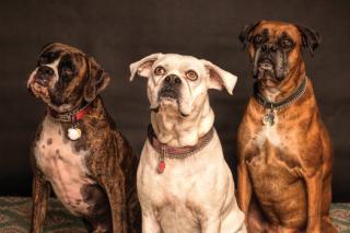 Dogs 3 pexels-photo-850602