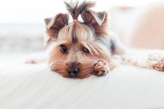 Yorkshire-terrier-puppy-1080x720
